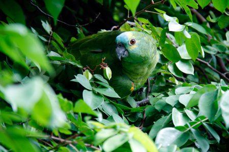 animal-bird-brazil-57021